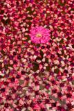 Local flowers, Doi Inthanon National Park