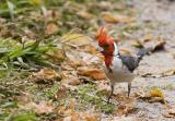 cardenal1