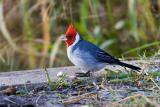 cardenal202