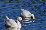 cisnes2