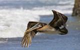 pelicano040208_5.jpg