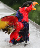 Lory Taking A Bath... (26 Jun10)