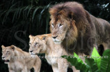 The Battleline Is Drawn..., African Lions (Jul 10)