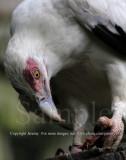 Palmnut Vulture (Jul 10)
