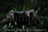 Turkey Vulture (Jul 10)