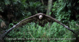 African White-Backed Vulture In Flight-1 (Jul 10)