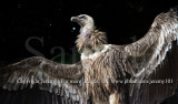 Lost & Found In Singapore..., Himalayan Griffon Vulture (Jul 10)