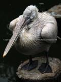 All Puffed Up..., Pelican (Jul 10)