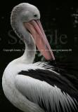 My Beautiful Red Beak..., Pelican (Jul 10)