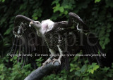 African White-Backed Vulture (Jul 10)