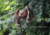 Flight Of The Buffy Owl - 1 (Jul 10)