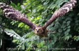 Flight Of The Buffy Owl - 2 (Jul 10)
