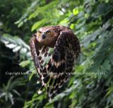 Malay Fish Owl In Flight-3  (Jul 10)