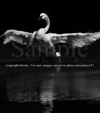A White Swan (Jul 10)
