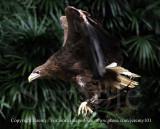White-Tailed Sea Eagle (Jul 10)
