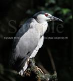 Heron (Jul 10)