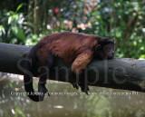 Brown Capuchin Monkey (Aug 10)