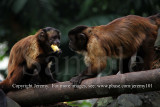 Brown Capuchin Monkeys (Aug 10)