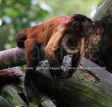 Brown Capuchin (Aug 10)