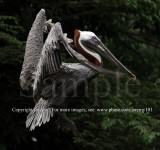 Brown Pelican (Aug 10)