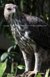 Changeable Hawk-Eagle (Jul 10)