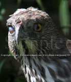 Changeable Hawk-Eagle - Nictitating Membrane (Jul 10)
