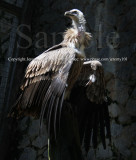 HImalayan Griffon Vulture (Jul 10)