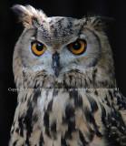 Bengal Eagle Owl (Aug 10)