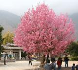 Cherry Blossom in Full Bloom (Dec 05)