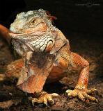 Iguana (Aug 05)