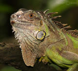 Green Iguana (Sep 05)
