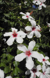 Big white flowers
