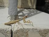 Preying Mantis.jpg