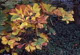 Autumnal chestnut leaves