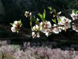 Almond blossom, Sella, Spain