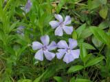 Three blue flowers