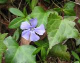 Solitary blue flower