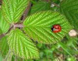 Ladybird on bramble leaf