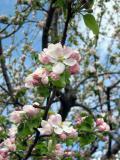 Apple blossom close
