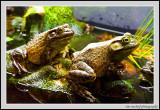 Leap Frog - Vancouver Aquarium