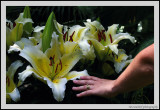 Big Lilies