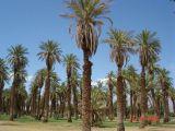 Palm Trees in Furnace Creek