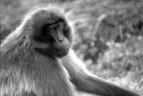 female gelada baboon