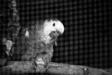 Amazon green parrot