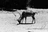 axis deer buck