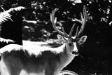 barashinga deer