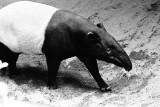 Malay or Asian tapir