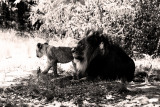 the king with one of his cubs