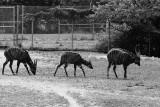Bongo antelope group