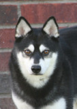 *HOT FOXX'S GRAND BLUE BERYL* Click on picture to see more of Bear, A Standard size Alaskan Klee Kai